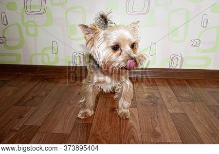 Portrait Of A Yorkshire Terrier Standing On The Floor And Licking Its Lips. Close Up