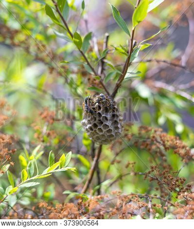 European Paper Wasps, Polistes Dominula, Taking Care Of Their Nest. The Nests Of Most True Paper Was