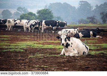 holstein cows on the farmland feeding