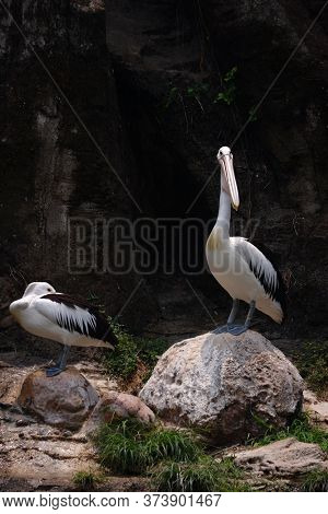 The Great White Pelican Also Known As The Eastern White Pelican, Rosy Pelican Or White Pelican Is A