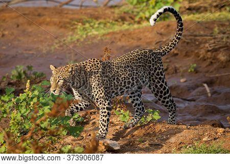 Female Leopard Walking On Red Soil In Golden Afternoon Light In Samburu Kenya