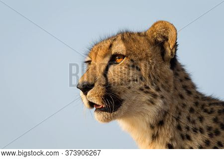 A Close Up Horizontal Portrait Of A Cheetah's Head With The Sunset Reflection In Her Amber Eyes In K