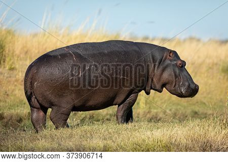 One Adult Hippo Full Body Side View Portrait Out Of Water In Full Sun In Chobe River Botswana