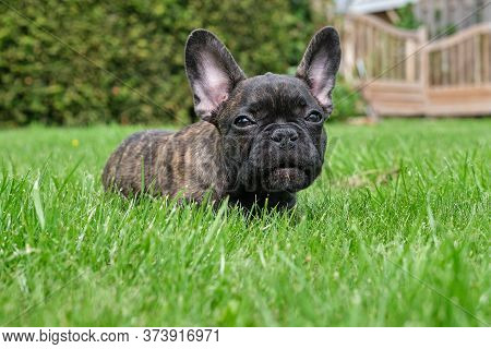 A Cute Adorable Brown And Black French Bulldog Dog Is Lying In The Grass With A Cute Expression In T
