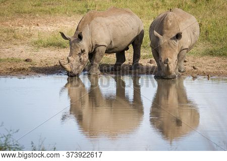 Two White Rhino Drinking Water With Red Billed Oxpeckers In Kruger Park South Africa