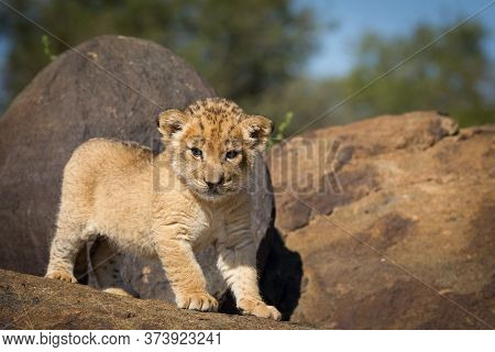 Small Lion Cub Standing On A Rock In Sunshine In Kruger Park South Africa