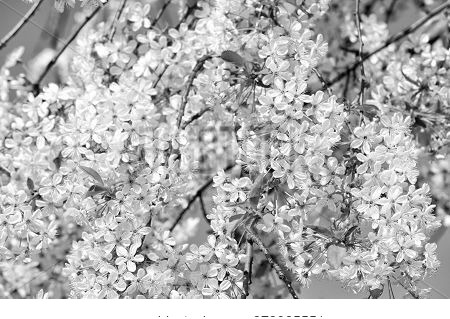 Background With Flowers. 8 March Sale. Blooming Of Apple Tree In Spring. Fresh And Beauty. Happy Wom
