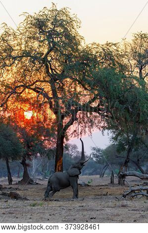 Elephant Bull Reaching For Food At Sunset Between The Big Trees In Mana Pools National Park In Zimba