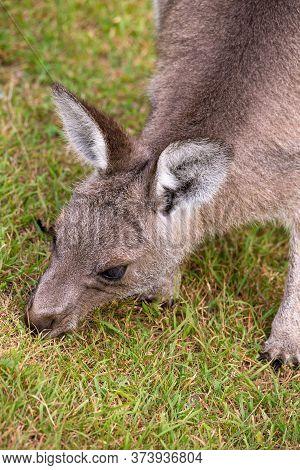 Australian Juvenile Kangaroo Eating Green Grass In A Clearing