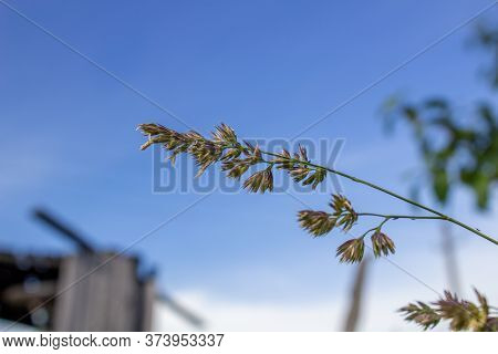 A Blade Of Grass Against The Blue Sky.