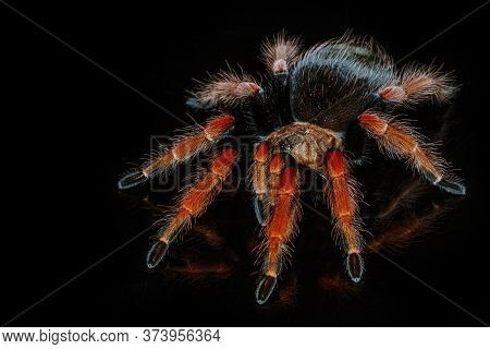 Black And Red Hairy Spider On Isolated Black Background With Reflection. Close Up Big Red Tarantula
