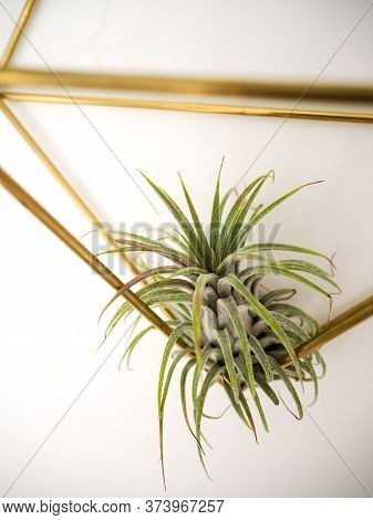 Tillandsia Ionantha ( Bromeliaceae) In A Golden Frame On A White Wall
