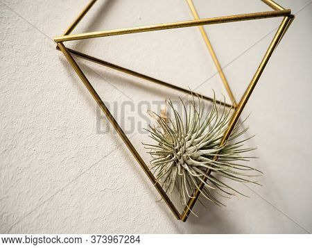 Air Plant Tillandsia Andreana ( Bromeliaceae) In A Golden Hanger On A White Wall