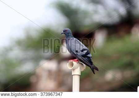 Pigeon On A Ground Or Pavement In A City. Pigeon Standing. Dove Or Pigeon