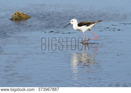 Black-winged Stilt Or Common Stilt (himantopus Himantopus), Wading In Shallow Water With Reflection,