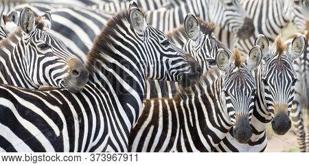 Herd Of Plains Zebra (equus Burchellii) During Migration, Serengeti National Park, Tanzania.