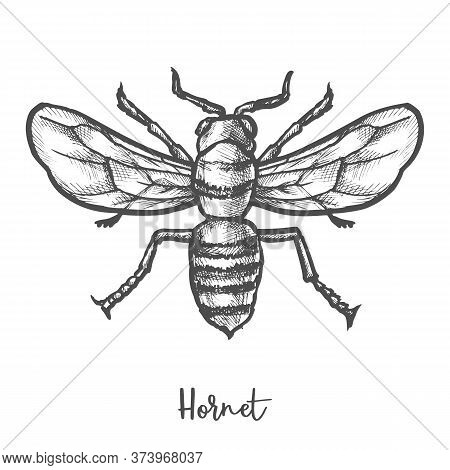 Hornet Sketch Vector Illustration. Vintage Wasp Insect