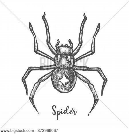Black Widow Spider Sketch.hand Drawn Halloween Bug