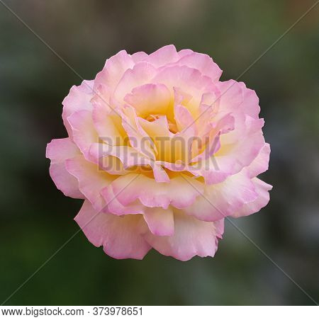 Pink Rose In Direct Light On A Blurry Background Designer Cut