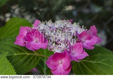 Pink Hortensia (hydrangea Macrophylla) Is Fully Blooming