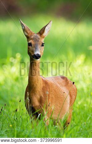 Beautiful Roe Deer Doe Standing On Meadow In The Summer.