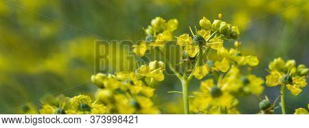 Blooming Common Rue Or Herb-of-grace (ruta Graveolens) With Yellow Flowers Against A Green Blurry Ba