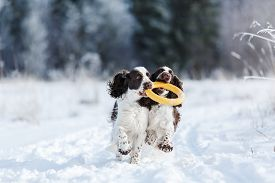 Two Dogs In The Winter In The Snow. Springer Spaniel Plays In Snow Nature, Outdoors