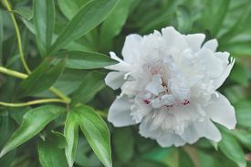 White Peony Flower Blooming In A Garden. Beautiful Flower Background Or Calendar Page. Wallpaper For