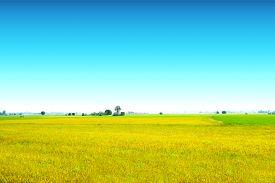 Beautiful Agriculture Jasmine Rice Farm In The Morning Clear Blue Sky White Cloud