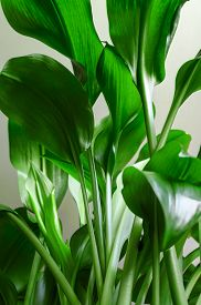 Green Stems And Leaves Of The Houseplant Aspidistra Elatior. Vertical Orientation, Close-up, Bottom