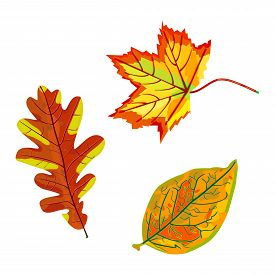Autumn Leaves Set Isolated On White Background. Collection Beautiful Colourful Fall Maple, Oak And B