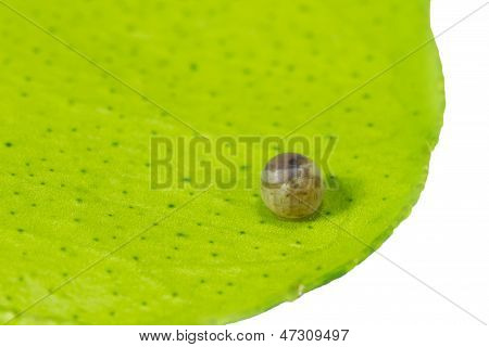 Butterfly Egg