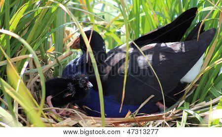 Pukeko & Chick on Nest