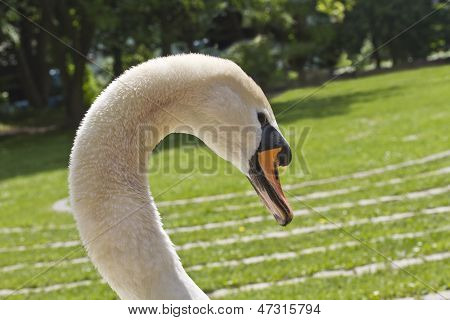Swan Head. Grass.