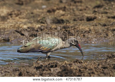 Hadedah Ibis eating in the Kruger National Park, South Africa poster
