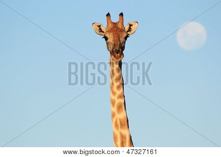 Giraffe Full Moon - Wildlife Background from Africa - Beauty is all around