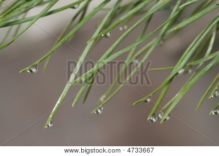Needles With Water Drops