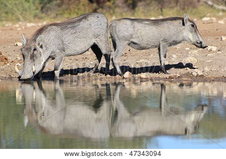 Warthog - Duplicate Reflection of Hog Love from Africa