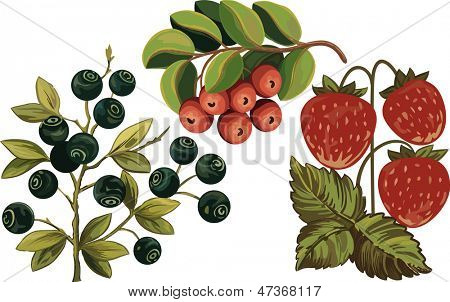 Huckleberry, strawberry and foxberry isolated over white background