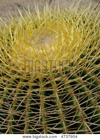 Golden Barrel Cacti_echinocactus Grusonii_005