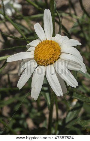 Flower Bellis Perennis, Commonly Called Chiribita Or Common Daisy,