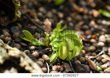 Cluster Of Venus Flytrap Plants