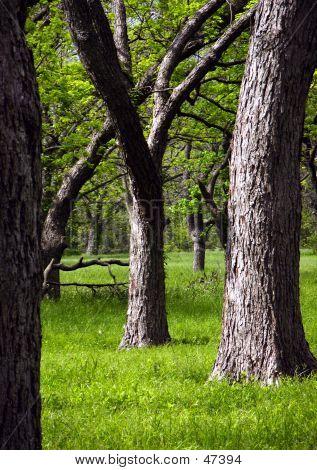 Pecan Trees Between