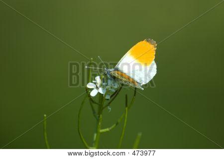 Butterfly - Orange Tip