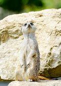 Meercat standing upright looking alert for danger poster