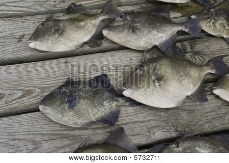 Gray Trigger Fish (balistes Capriscus) Caught By Sport Fishermen