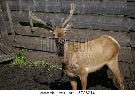 Siberian stag in the corral