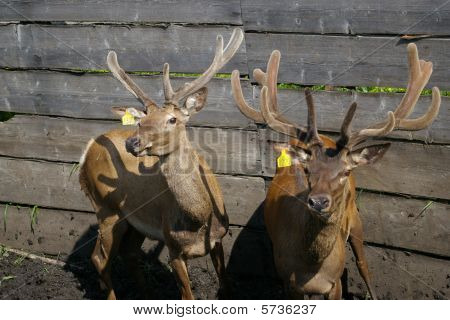 Siberian stags in the corral