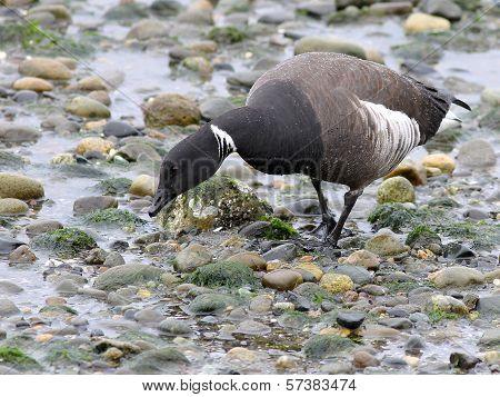 Brant Goose Feeding on the Beach