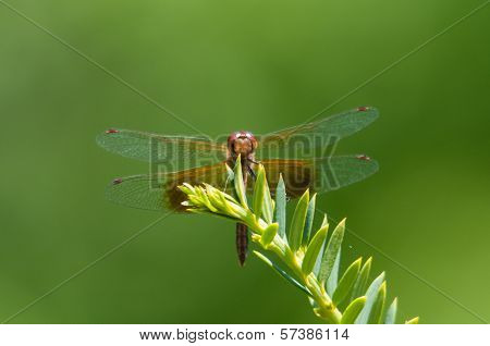 Band-winged Meadowhawk dragonfly perched on a plant. poster